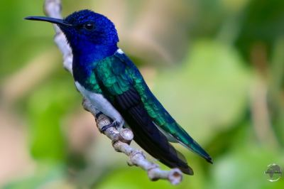 White-necked Jacobin hummingbird at Asa Wright nature centre.