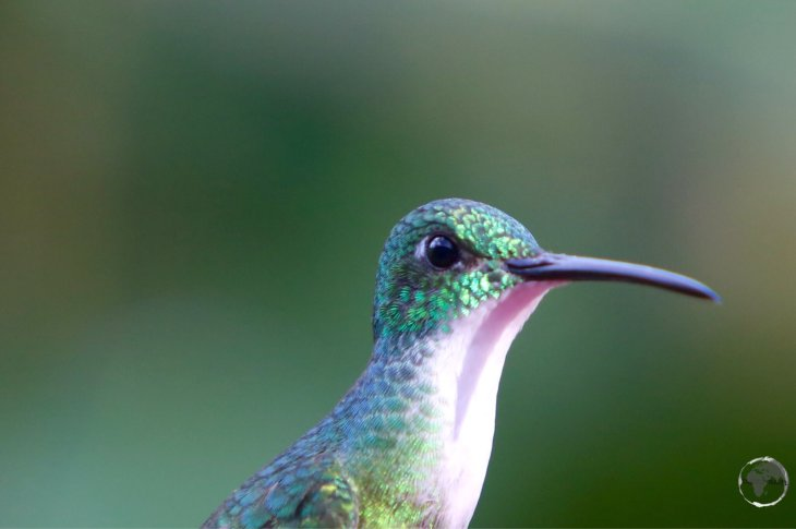 Female white-necked Jacobin hummingbird at Asa Wright nature centre