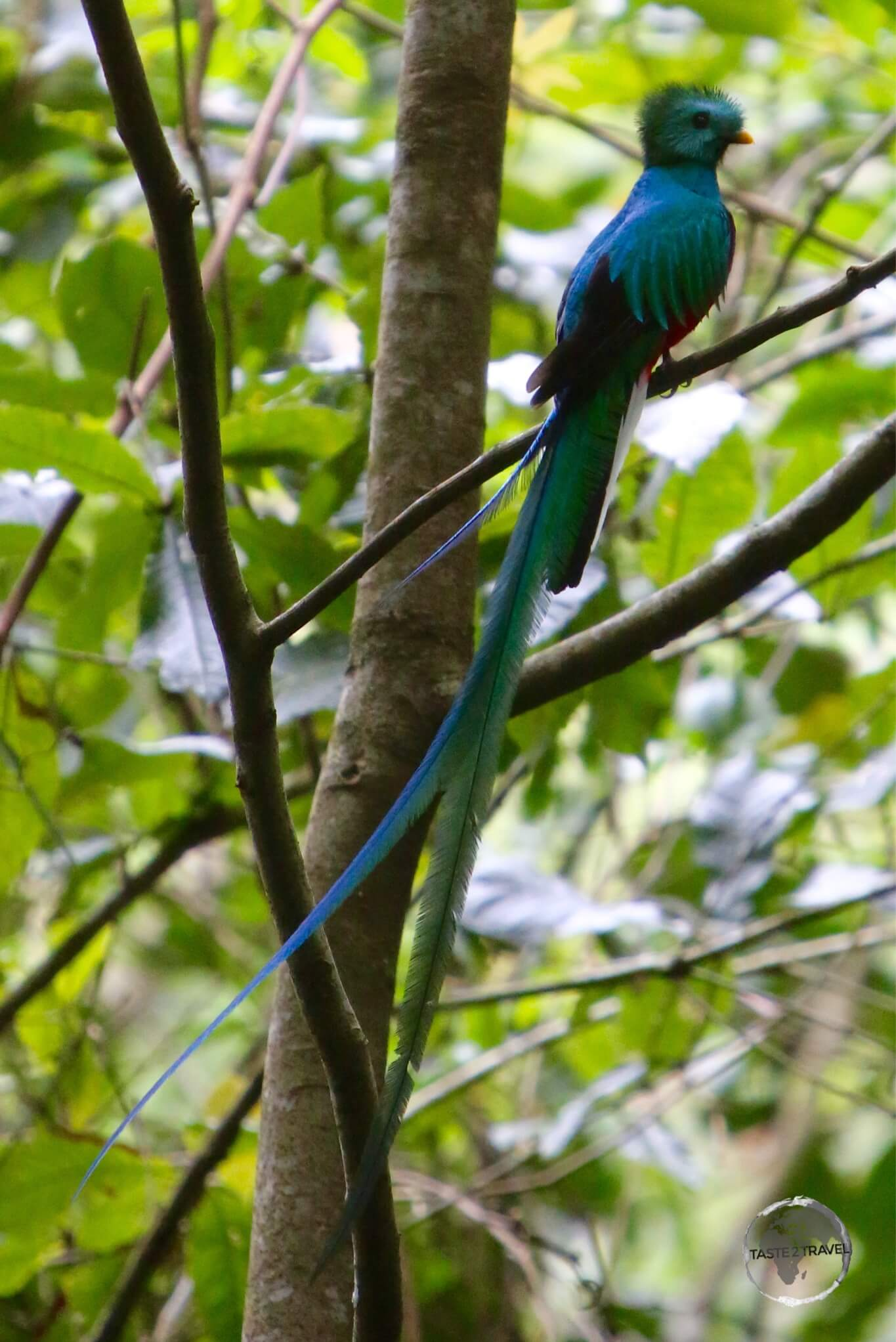 The male Quetzal.