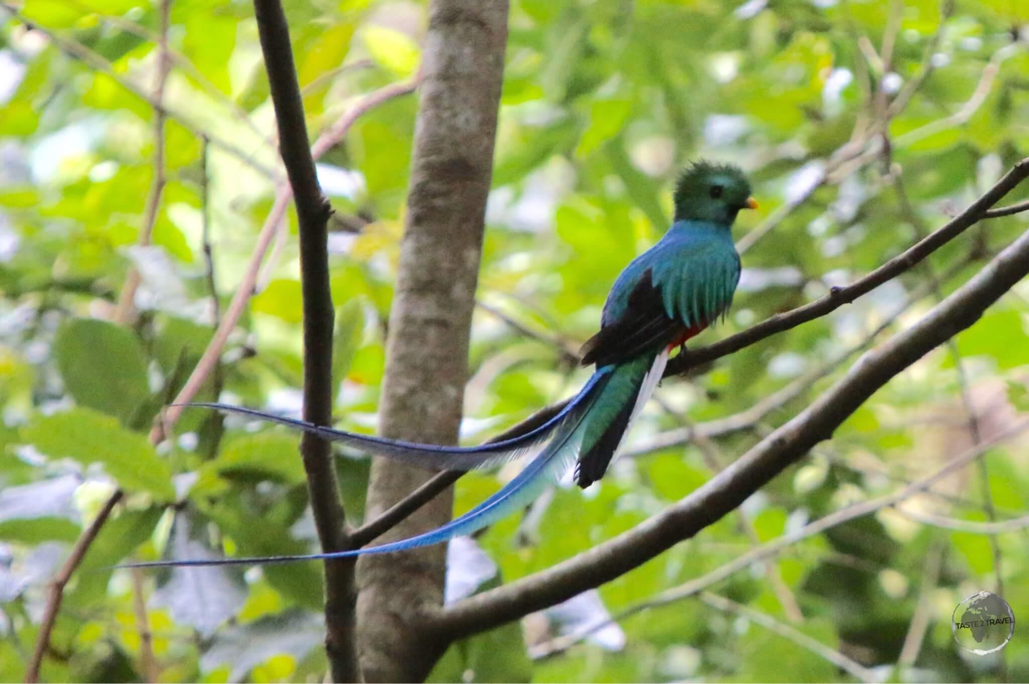 The even more resplendent (male) Quetzal near Finca Lerida.