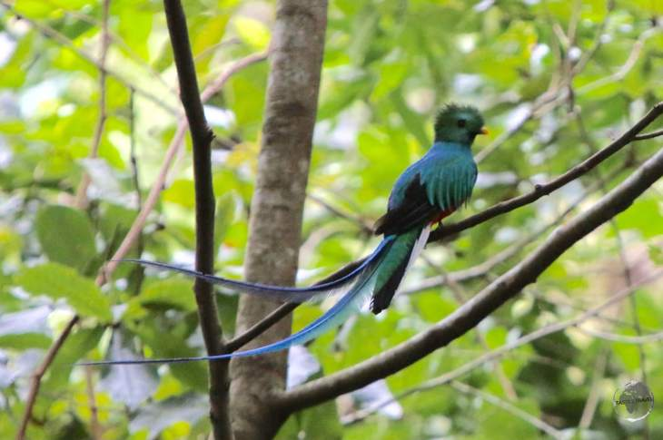 The equally elusive male Quetzal.