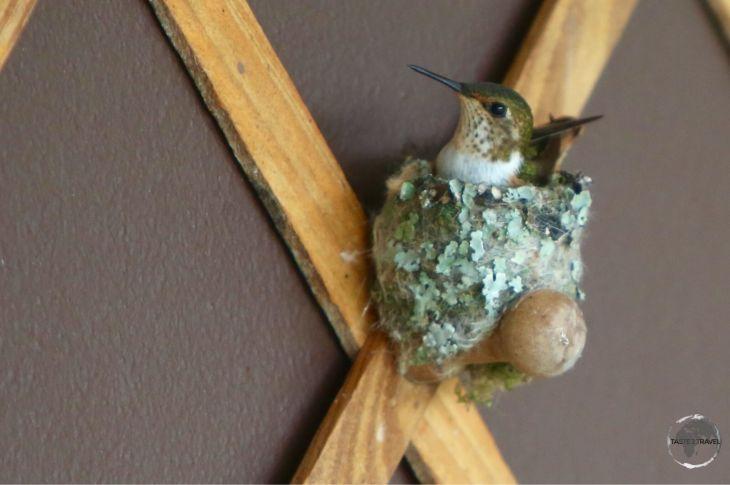 Nesting female Scintillant hummingbird