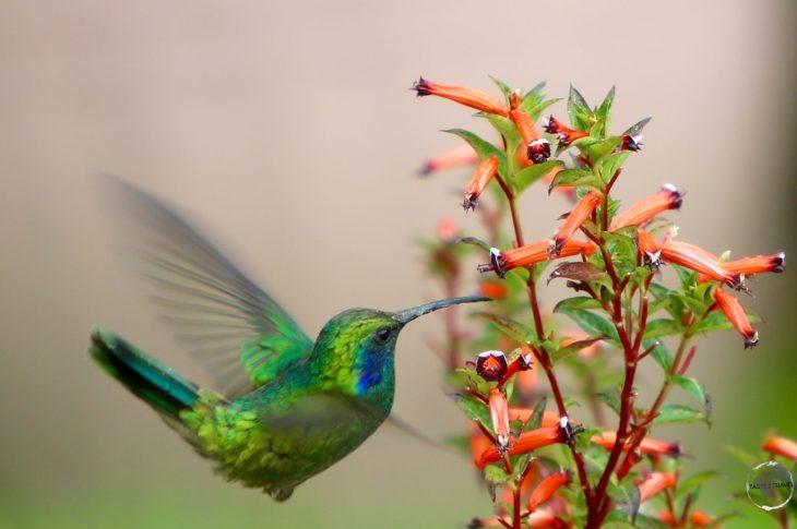 A Green violet-eared hummingbird at Finca Lerida.