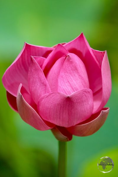 Lotus Flower in Nieuw Amsterdam.