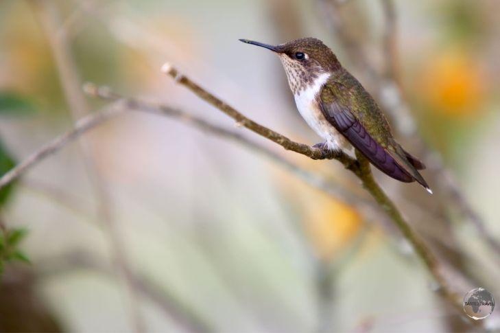 The female Scintillant hummingbird at Finca Lerida.