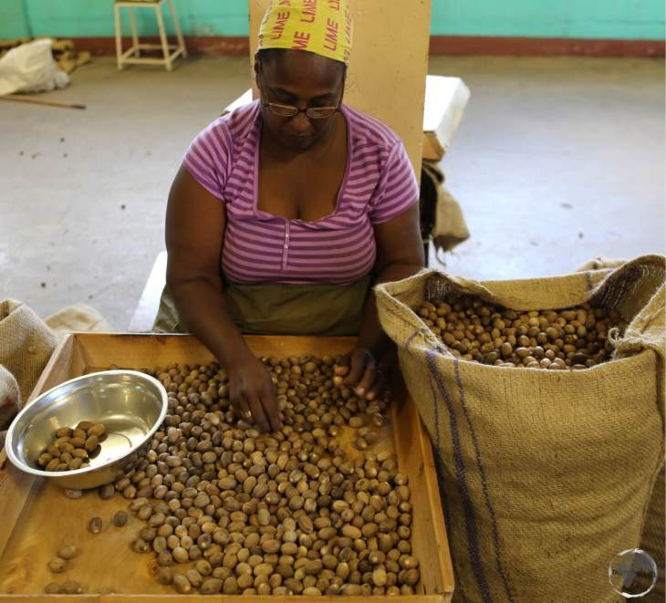 A worker at the Grenada Co-operative Nutmeg Association, sorting different grades of nutmeg.