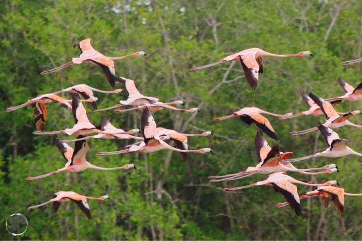 Suriname Travel Guide: Caribbean flamingos at Bigi Pan Nature Reserve.