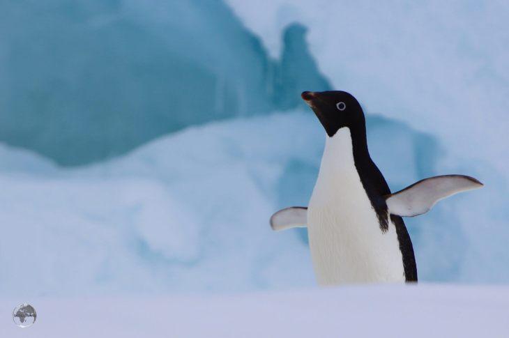 An Adéliepenguin on Detaille Island, Crystal Sound, Antarctica.