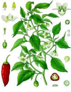 Image: Franz Eugen Köhler, Köhler's Medizinal-Pflanzen