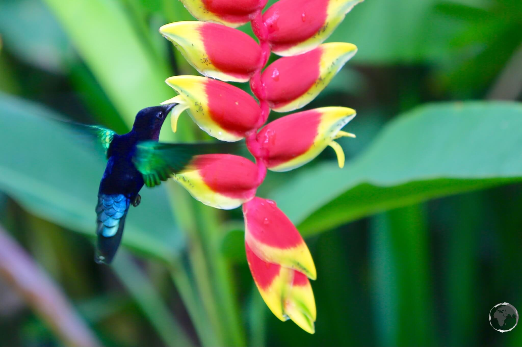 A Madeira Hummingbird on Martinique.
