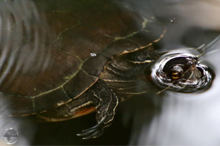 Fresh-water turtle in the 'Indigenous Eyes National Park', Punta Cana.