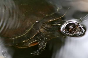 Fresh-water turtle in the 'Indigenous Eyes National Park', Punta Cana