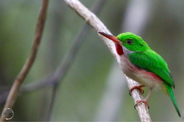 Dominican Republic Travel Guide: Broad-billed Tody, Punta Cana