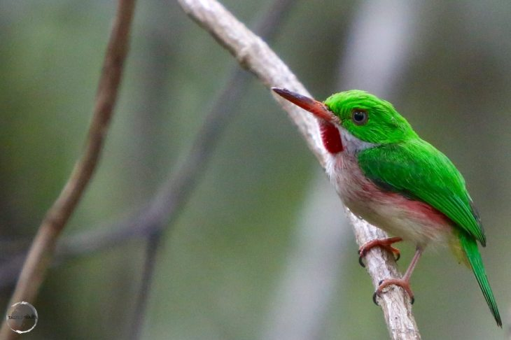 Broad-billed Tody in the 'Indigenous Eyes National Park', Punta Cana