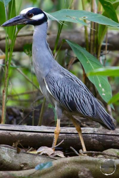 A Yellow-Crowned Night Heron on the India River.