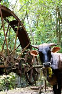 Cow grazing in an abandoned sugar mill in Hampstead