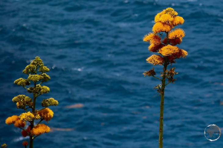 The national flower of Antigua & Barbuda - The Dagger Log.