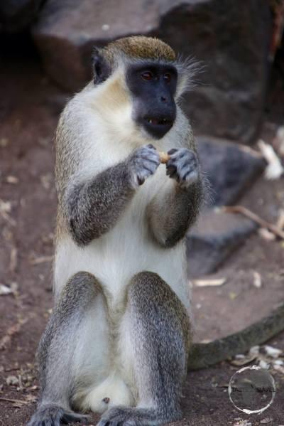 Vervet monkeys have lived on St. Kitts & Nevis for over 300 years.