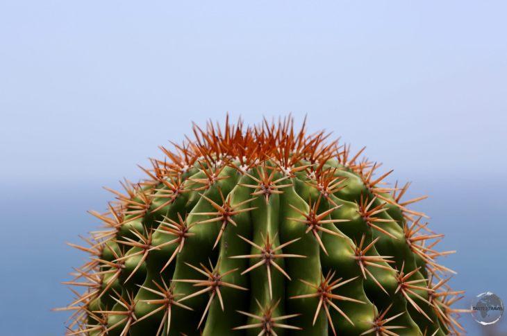 Turks Head Cactus on Antigua.