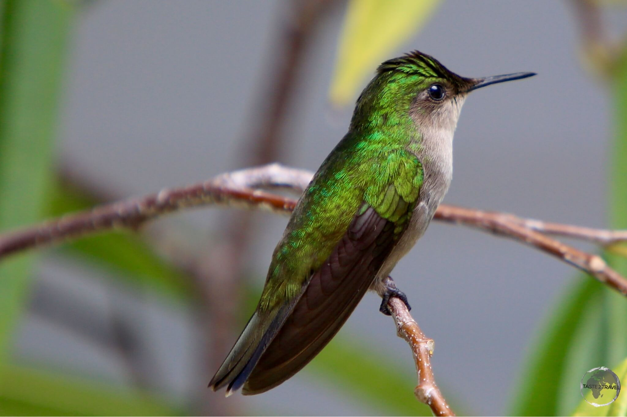 A White-throated Hummingbird on Saba.