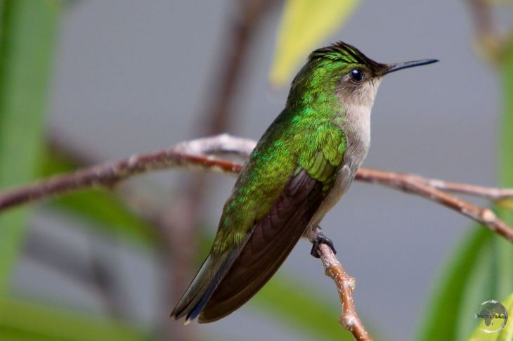 White-throated Hummingbird on Saba.
