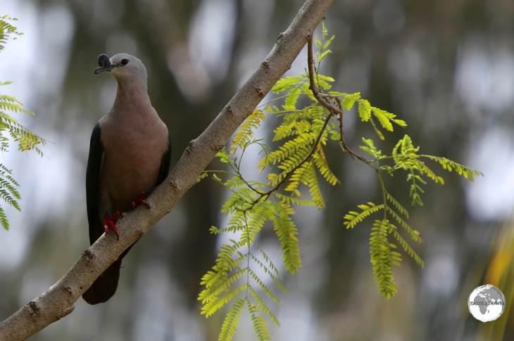 A Pacific Imperial Pigeon on Kiribati.