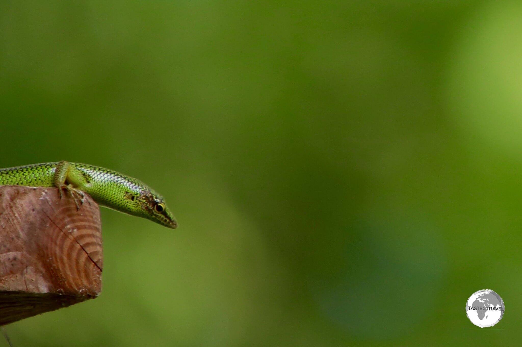 Curious green lizard.