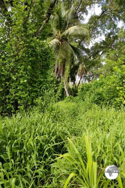 The very over-grown Lelu ruins, Kosrae's version of Nan Madol.