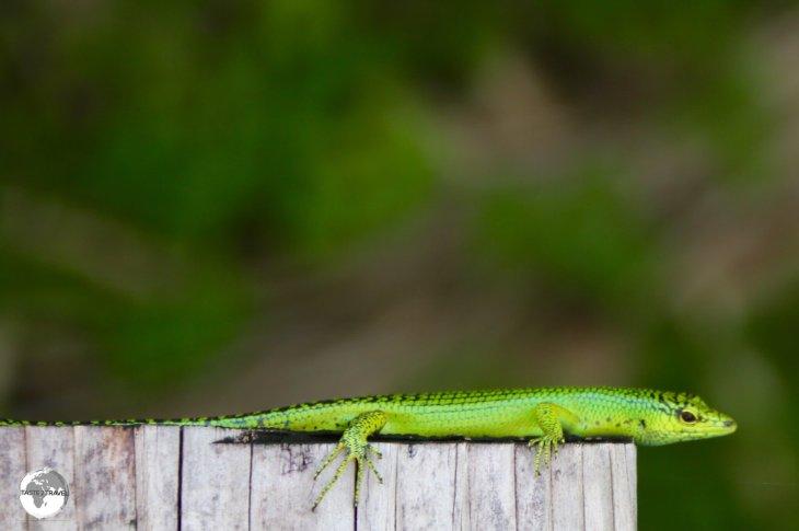 Emerald tree skink at Papago International resort in Airai state