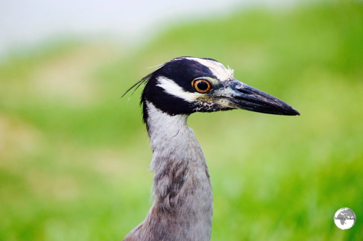 A recent introduction to Bermuda, the Yellow-crowned night heron at Spittal Pond Nature Reserve.