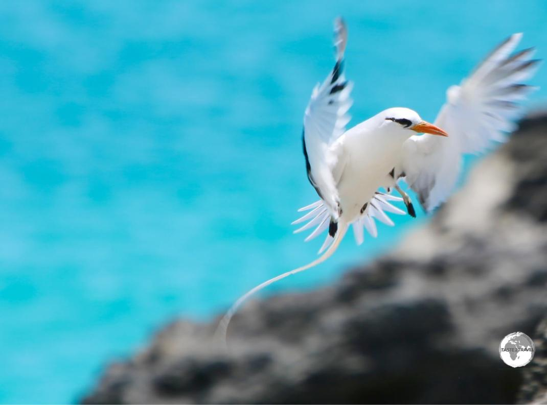 Bermuda Travel Guide: A White-tailed Tropicbird or Longtail, landing at it nest.
