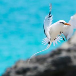Bermuda Travel Guide: White Tailed Tropic bird