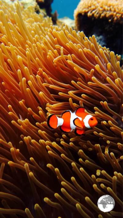 A beautiful Clown fish.