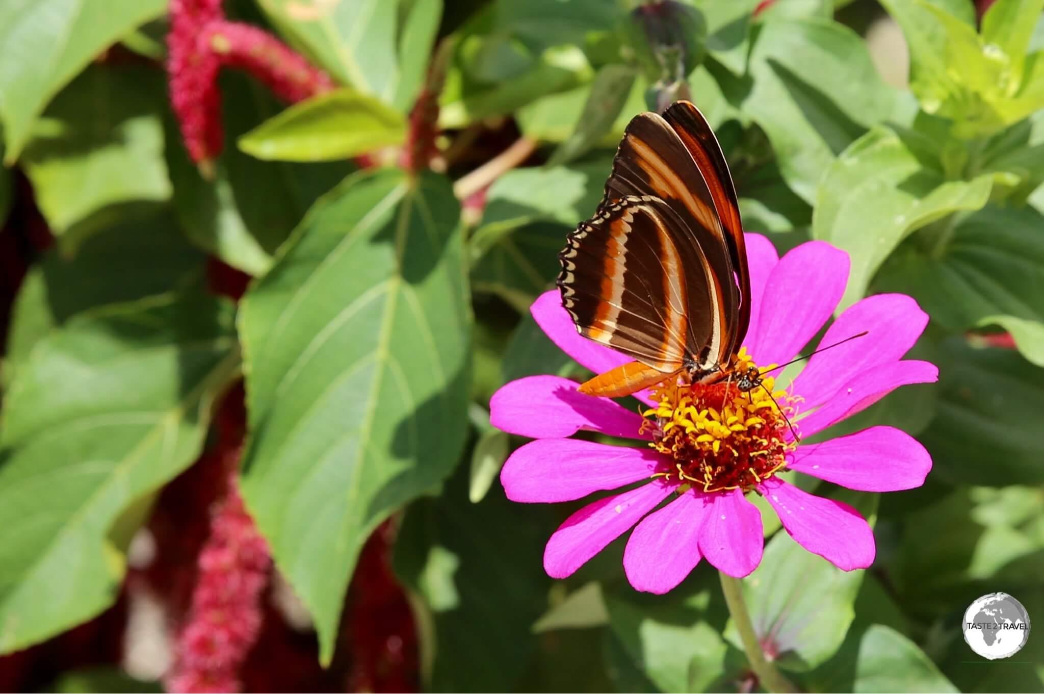 Isabella's Longwing butterfly on Wakenaam island.
