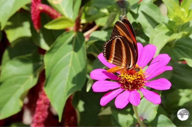 Isabella's Long-wing butterfly on Wakenaam Island.