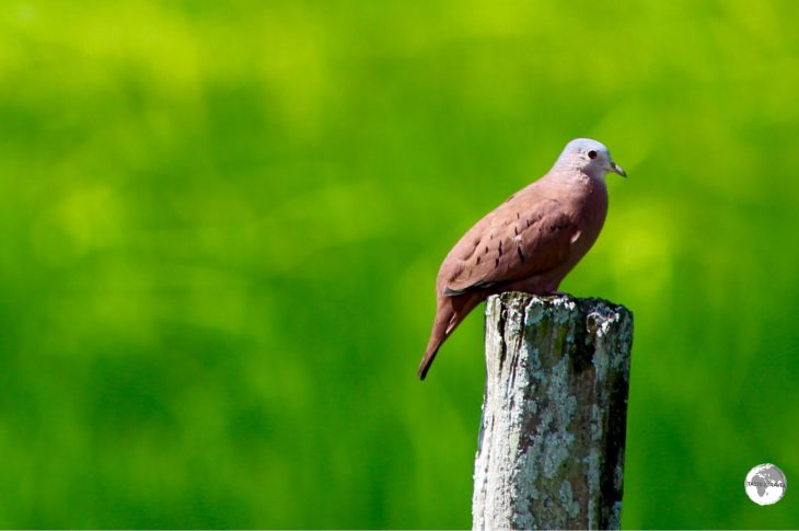 Ruddy Ground Dove.