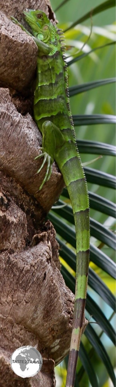 Green Iguana on Grand Cayman.