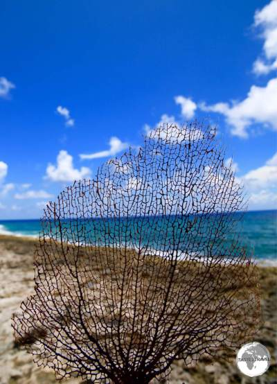A fern coral at Long Beach, Cayman Brac.