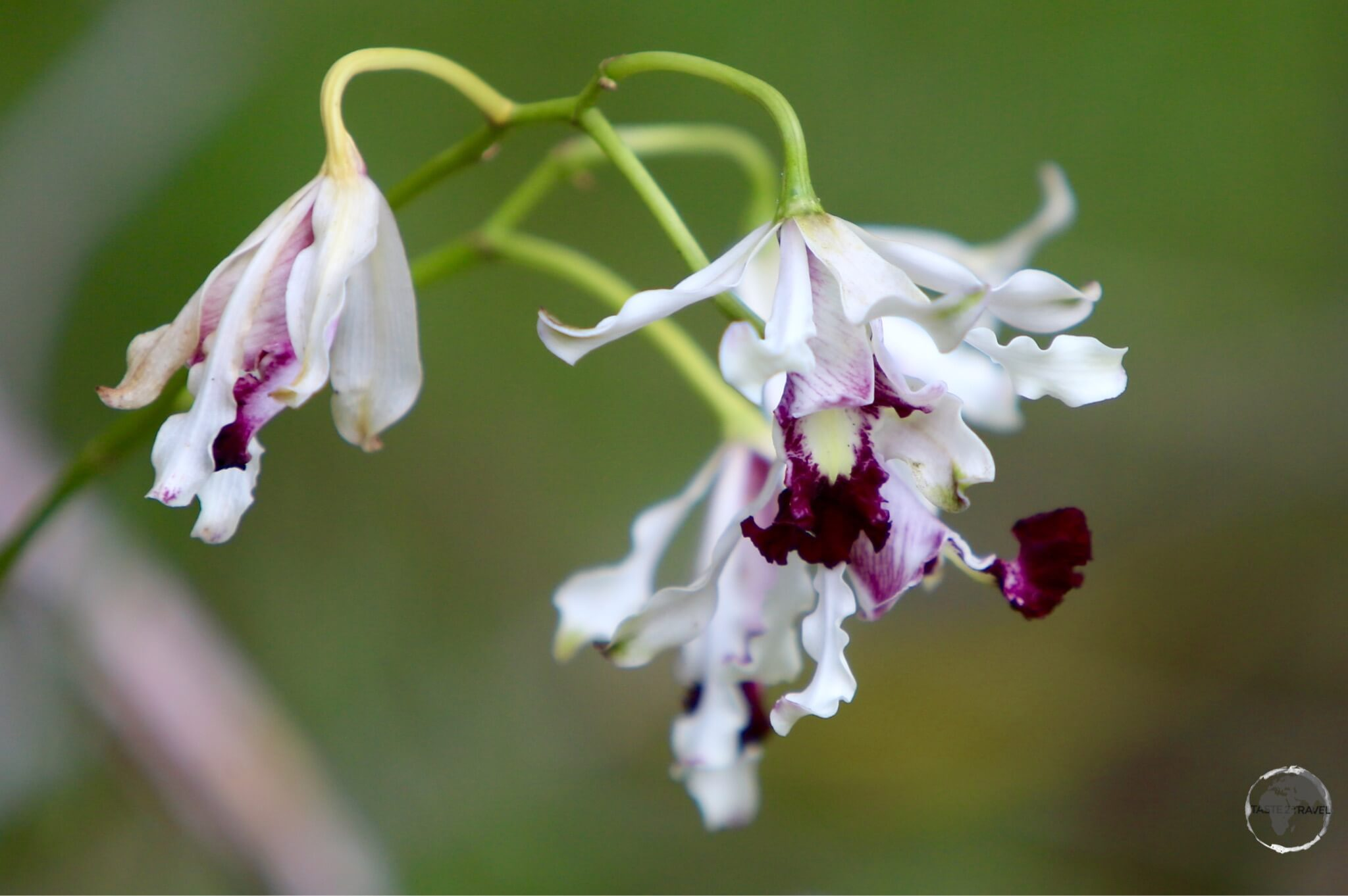 The national flower of the Cayman Islands – the Wild Banana Orchid – in the QEII Botanic Park.
