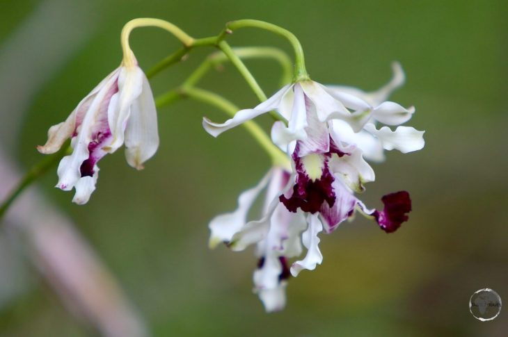 Cayman Islands Travel Guide: Wild Banana Orchid, Cayman Islands.