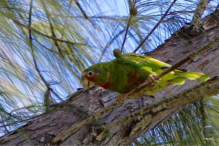 The elusive Cayman Island parrot on Grand Cayman.