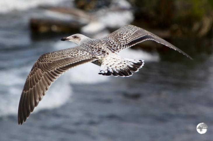 Iceland gull at Olafsvik.