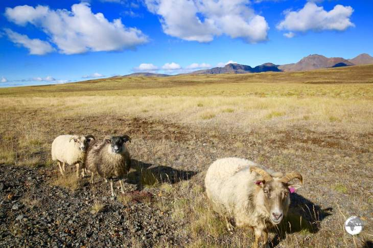 Cute to look at but often a road hazard, Icelandic sheep roam freely throughout Iceland.