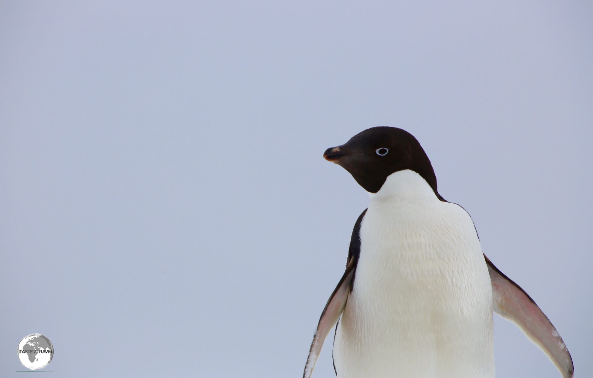 We first encountered the Adélie penguin at Detaille Island.