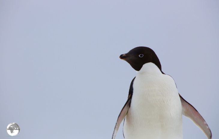 Adélie penguins, such as this one on Detaille Island, obtain their food by both predation and foraging, with a diet of mainly krill and fish.