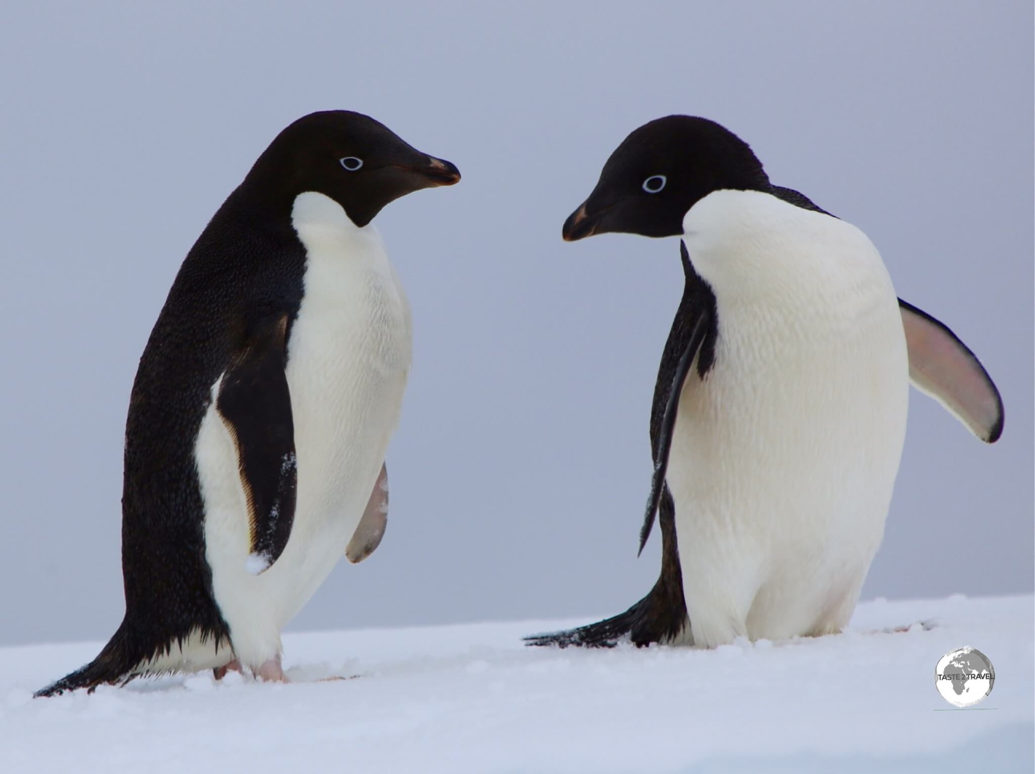 Adélie penguins were discovered in 1840 by scientists on a French Antarctic expedition, who named them after the wife (Adéle) of the expedition leader Jules Dumont d'Urville.