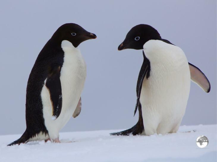 Adéliepenguins on Detaille Island.