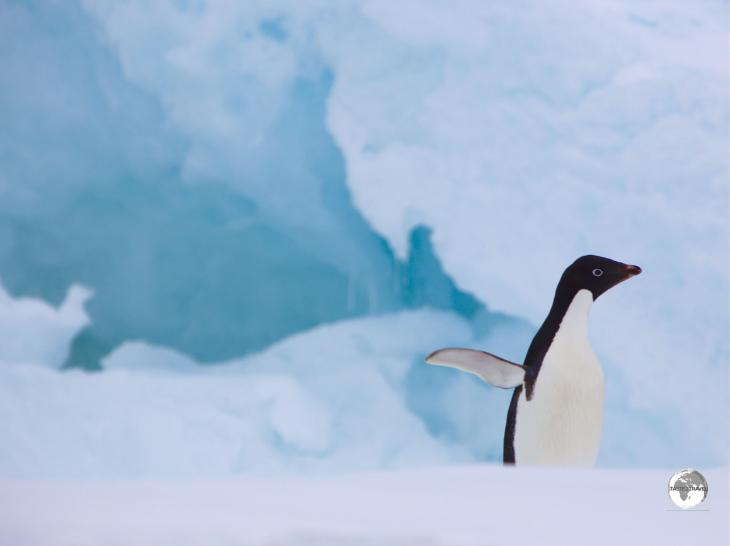 An Adélie penguin on Detaille island strikes a pose