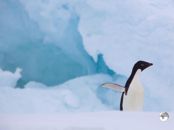 An Adéliepenguin on Detaille Island strikes a pose.