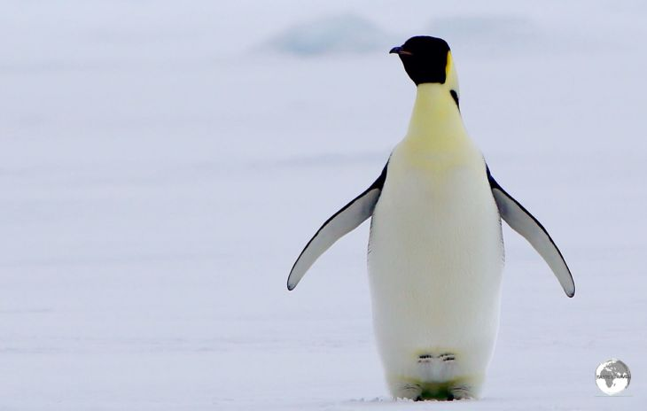 Emperor penguin's, such as this one in Crystal sound, have the distinction of being the tallest and heaviest of all penguins.